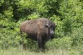 An American bison at the 1,800-acre Lonesome Pine Ranch, a working cattle ranch that is part of the Texas Ranch Life ranch resort near Chappell Hill in Austin County, Texas LCCN2014632588.tif