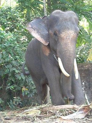 Kayamkulam - Evoor Kanna was an iconic elephant