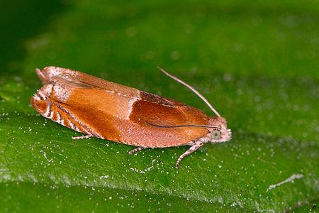 Ancylis mitterbacheriana, Lodz(Poland)01(js).jpg