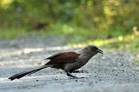 Andaman Coucal 2.JPG