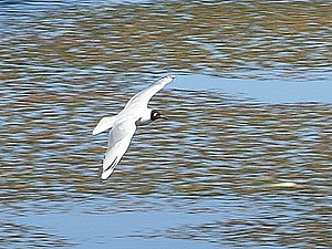 Andean gull - Image: Andean Gull 01