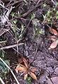 Androsace elongata1 eF.jpg