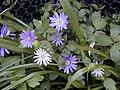 Anemone blanda 05.JPG