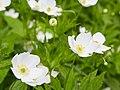 Anemone canadensis-IMG 0633.jpg