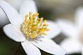 Anemones - kvitveis - hvitveis - 55.jpg