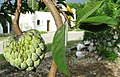 Annona squamosa-fruits-leaves.jpg
