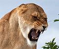 Annoyed Lioness (3869878597).jpg