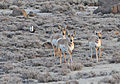 Antelope & Greater Sage-Grouse (8695010223).jpg