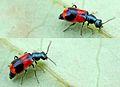 Anthocomus bipunctatus (=equestris) (2006-06-07).jpg
