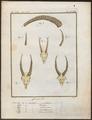 Antilope dorcas - schedel - 1700-1880 - Print - Iconographia Zoologica - Special Collections University of Amsterdam - UBA01 IZ21400235.tif