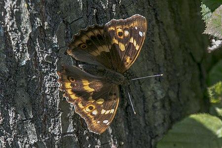 Apatura ilia, Lodz(Poland)05(js).jpg