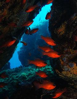Apogoninae subfamily of fishes