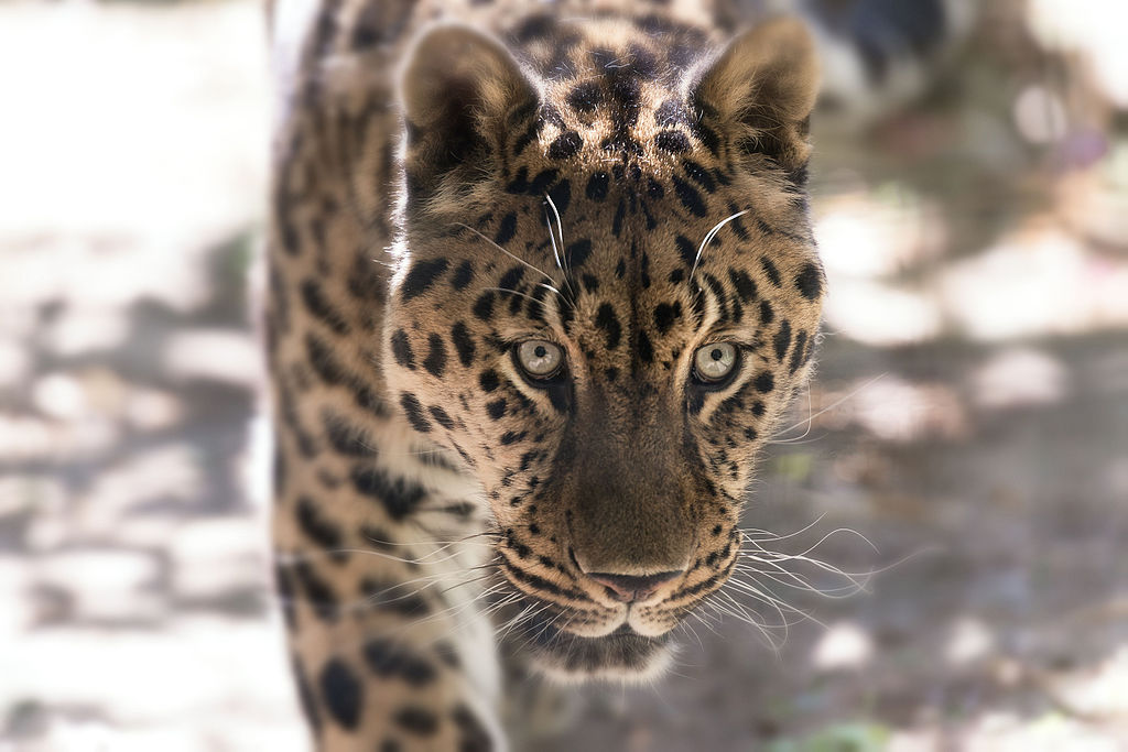 Approaching Leopard Closeup (18026534841).jpg