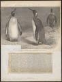 Aptenodytes pennantii - 1700-1880 - Print - Iconographia Zoologica - Special Collections University of Amsterdam - UBA01 IZ17800263.tif