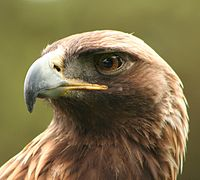Aquila chrysaetos portrait-2.jpg