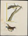 Arachnothera zeylonica - 1700-1880 - Print - Iconographia Zoologica - Special Collections University of Amsterdam - UBA01 IZ19000189.tif