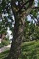 Arboretum-Aubonne 21 Ailanthus altissim.jpg