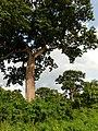 Arbre géant de la forêt sacrée de igbo akpa à Pobé.jpg