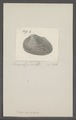 Arca striatella - - Print - Iconographia Zoologica - Special Collections University of Amsterdam - UBAINV0274 076 04 0027.tif