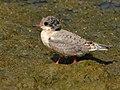 Arctic tern (14643322988).jpg