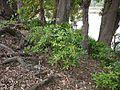 Ardisia solanacea (5597874322).jpg