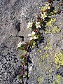 Arenaria biflora.jpg