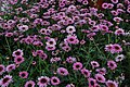 Argyranthemum 'Reflection Pink'.JPG