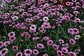 Argyranthemum 'Reflection Pink'.JPG