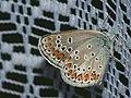 Aricia artaxerxes ♂ - Northern brown argus (male) - Голубянка изменчивая (самец) (40972510492).jpg