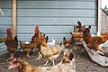 Arkansas chickens (Unsplash).jpg