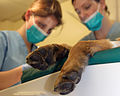 Armed Forces Veterinary Carries out Dental Work on a Military Working Dog MOD 45158956.jpg