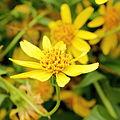 Arnica longifolia-IMG 4673.jpg