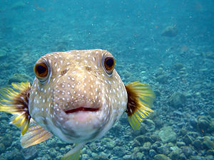 A Puffer Fish,Arothron hispidus is kissing my ...