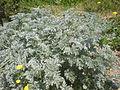 Artemisia absinthium 1c.JPG