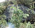 Artemisia afra 07102003 Afrique du sud.jpg