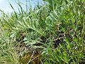 Artemisia pancicii sl20.jpg