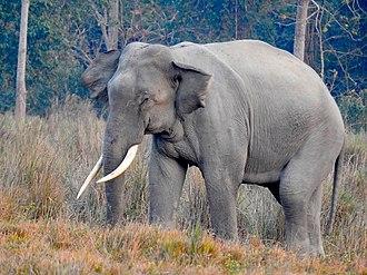 Wildlife of Bangladesh - Image: Asian Elephant tusker 03