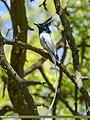 Asian Paradise Flycatcher (Terpsiphone paradisi) (45839175624).jpg
