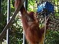 Asian Sumatran orangutan Pongo pygmaeus abelii1.JPG