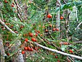 Asparagus scandens berries - indigenous afrotemperate forest - Newlands Cape Town.jpg