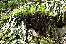 Asplenium scolopendrium americanum CR1947.jpg
