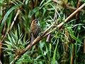 Asthenes helleri - Puna Thistletail.jpg