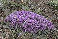 Astragalus - Geven 06.jpg