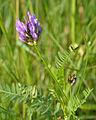 Astragalus danicus - aas-hundihammas.jpg