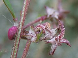 Atriplex prostrata frucht.jpeg