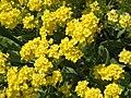 Aurinia saxatilis02.jpg