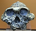 Australopithecus boisei IMG 5612 BMNH.jpg