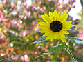 Autumn Sunflower Helianthus annuus 3264px.jpg
