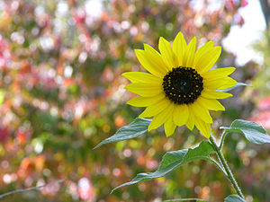 Autumn Sunflower Helianthus annuus 3264px