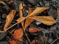 Autumn leaves, Minnowburn near Belfast - geograph.org.uk - 1535760.jpg